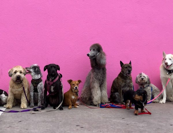 A line of various leashed dogs in front of a pink wall